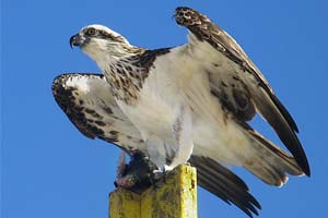 osprey-photo